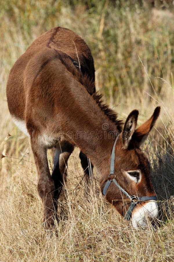 Download Donkey grazing stock photo. Image of mammal, looking - 28164326