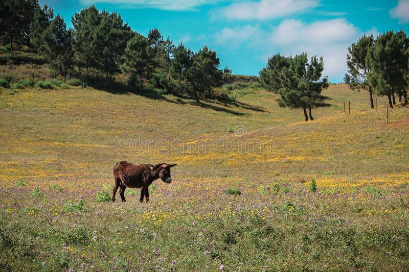 Donkey grazing in farmlands. On summer in Sintra royalty free stock images