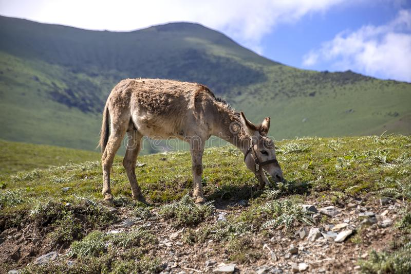 A donkey grazing on a mountain pasture against a background of green hills and the sky in the clouds. Issyk-Kul region stock photo