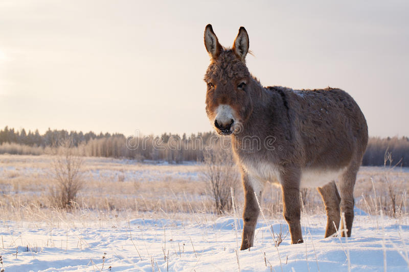 Donkey. Grey donkey at nature in winter stock images