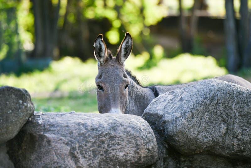 Donkey Head lustig graue Esel domestiziert Mitglied der Pferdefamilie lizenzfreie stockfotos