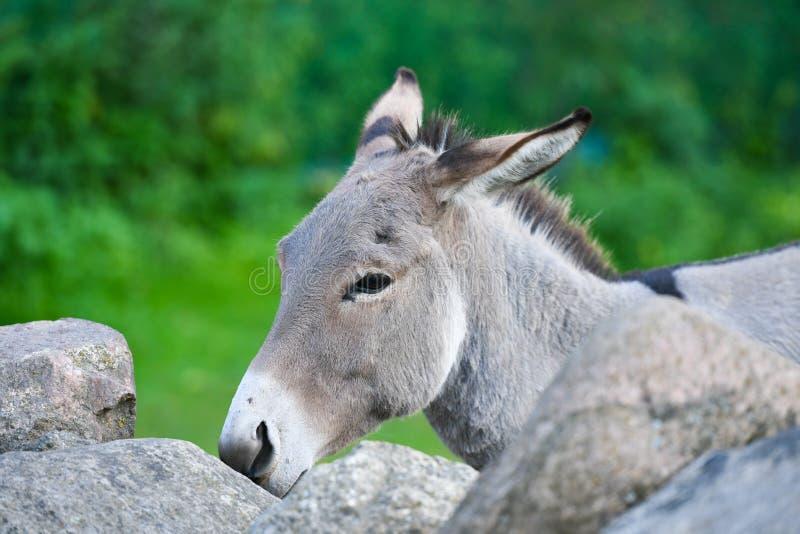 Donkey Head lustig graue Esel domestiziert Mitglied der Pferdefamilie stockbilder