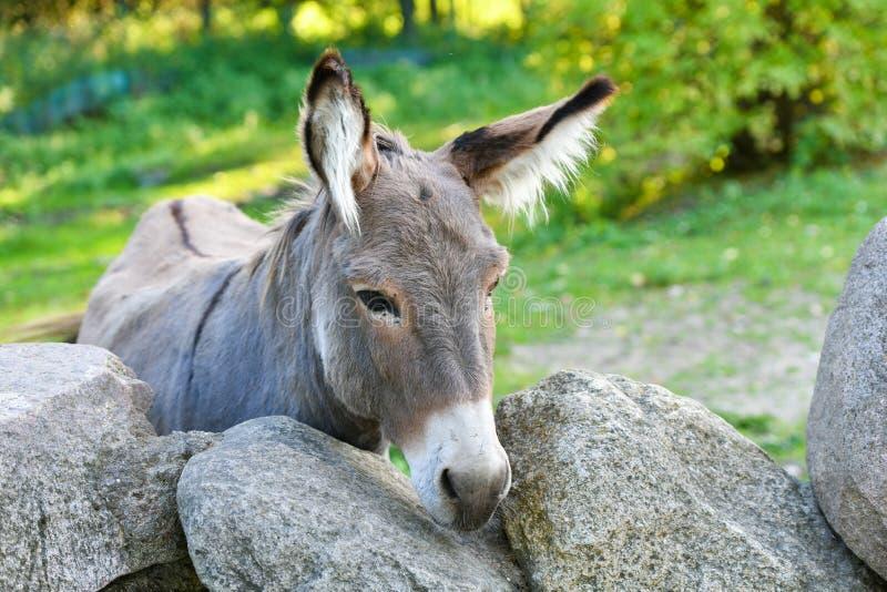 Donkey Head lustig graue Esel domestiziert Mitglied der Pferdefamilie stockfotos