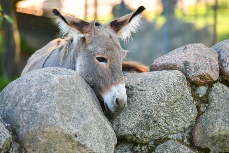 Donkey Head lustig graue Esel domestiziert Mitglied der Pferdefamilie lizenzfreies stockbild