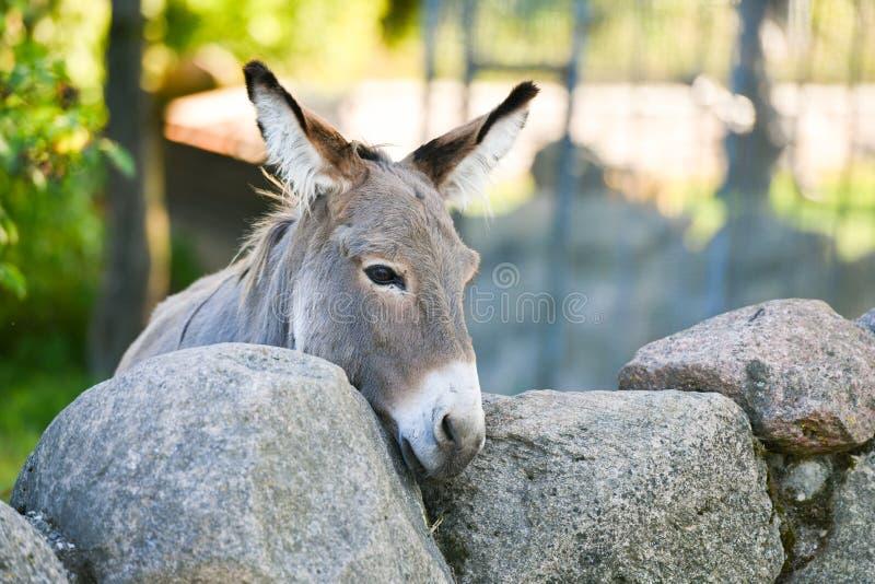 Donkey Head lustig graue Esel domestiziert Mitglied der Pferdefamilie stockbild