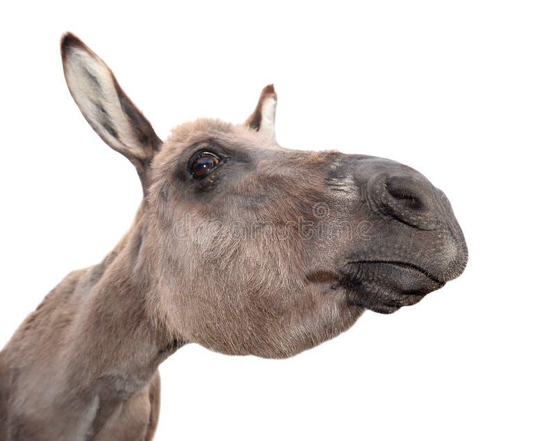Donkey head on white background. Funny donkey portait close up. Farm animal. Donkey head on white background. Funny donkey portait close up stock photo
