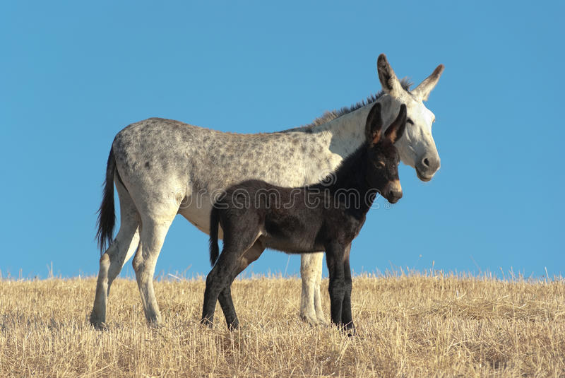 Download Donkey And His Foal stock photo. Image of foal, horizon - 21576694