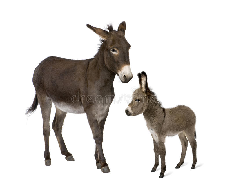 Donkey And His Foal Against White Background Stock Photos