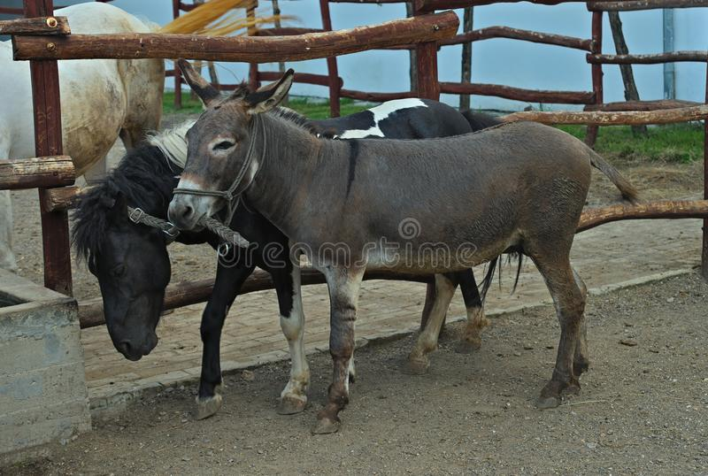 Donkey standing next to pony outside stable stock photos