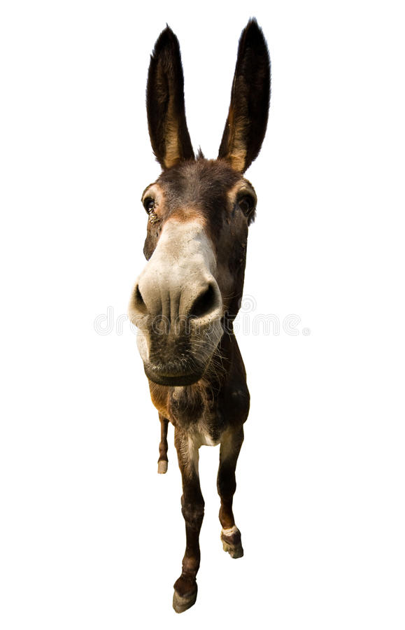Download Donkey isolated stock photo. Image of standing, livestock - 9893648