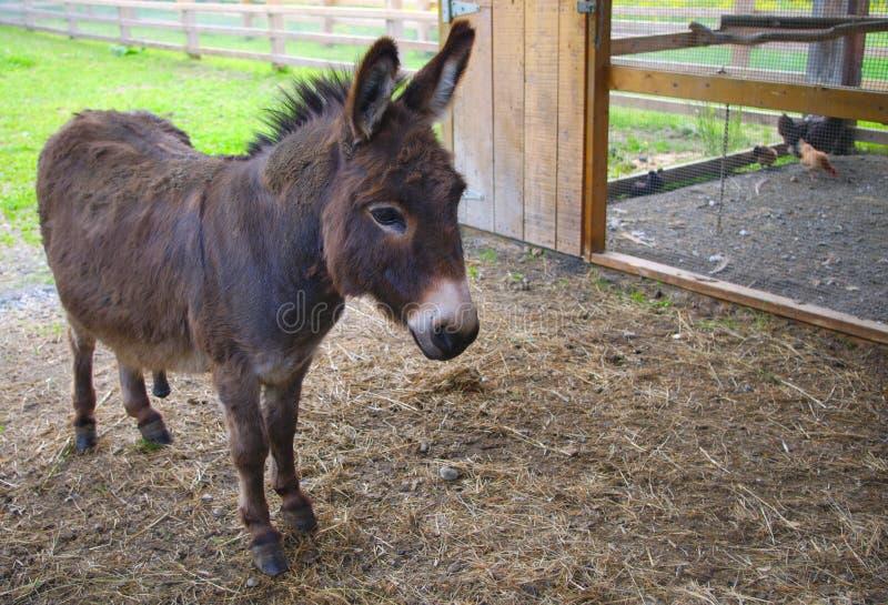 Jackass mule donkey country farming agriculture animal enclosure rural. Donkey jackass farm mammal mule domestic animal stock image