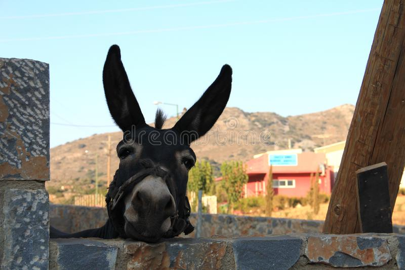 A donkey looks at the camera on the hills background on a summer day royalty free stock photos