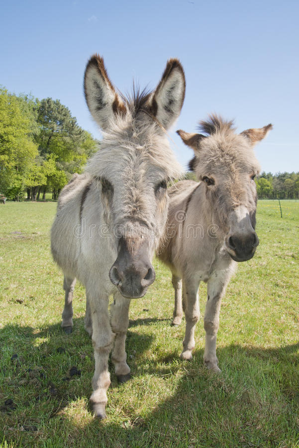 Donkey in a meadow stock photo
