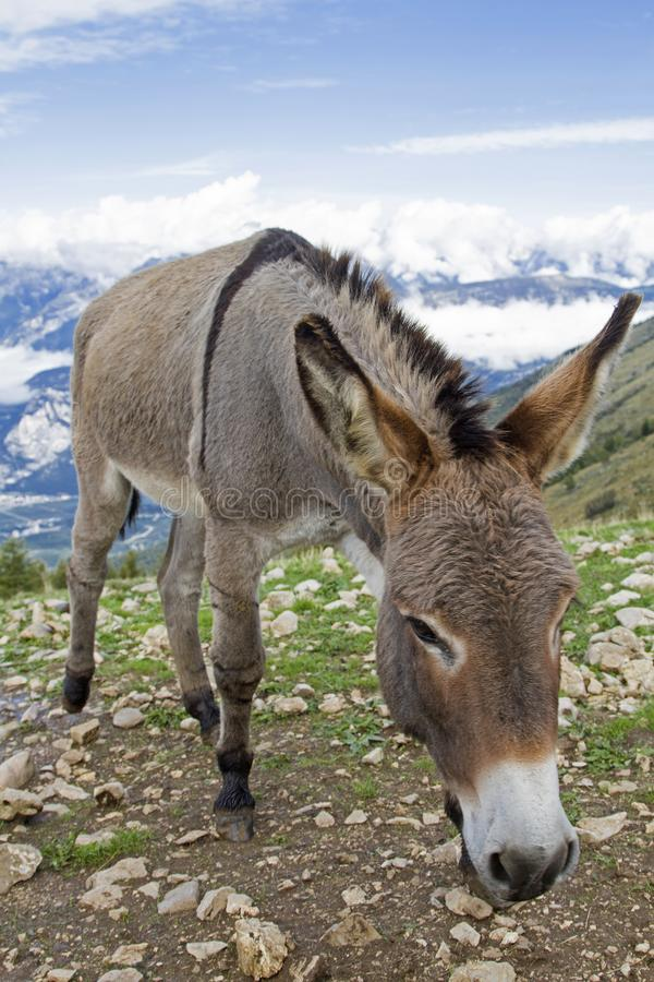 Donkey on a mountain meadow in Trentino stock photo