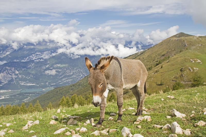 Donkey on a mountain meadow in Trentino royalty free stock photography