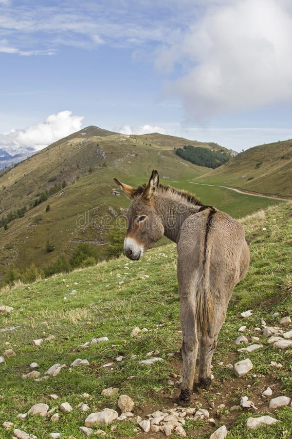 Donkey on a mountain meadow in Trentino royalty free stock photos