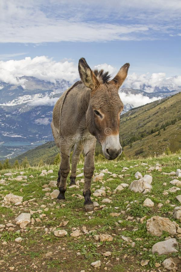 Donkey on a mountain meadow in Trentino stock photos