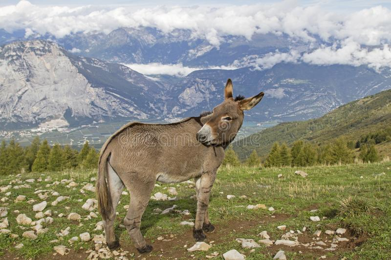 Donkey on a mountain meadow in Trentino royalty free stock photo