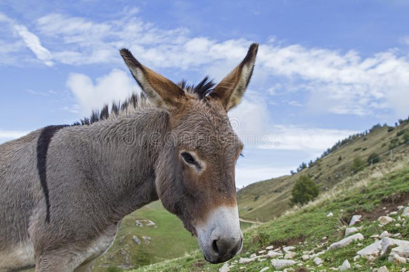 Donkey on a mountain meadow in Trentino royalty free stock images