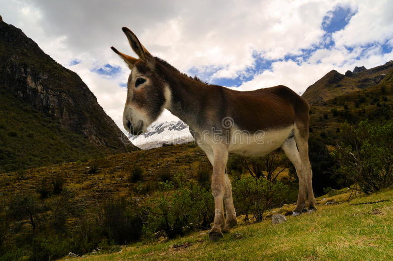 Donkey in the mountains stock photo