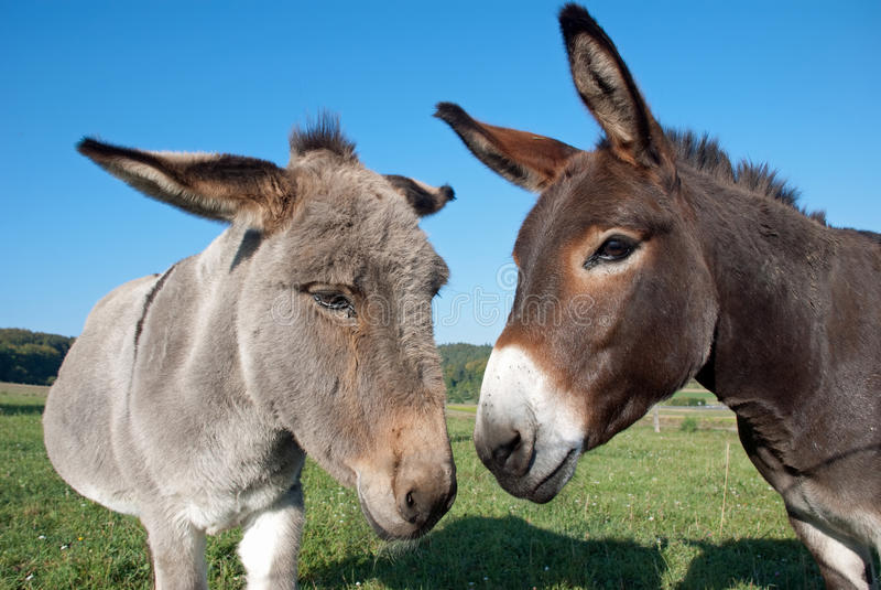 Donkey and mule stock image