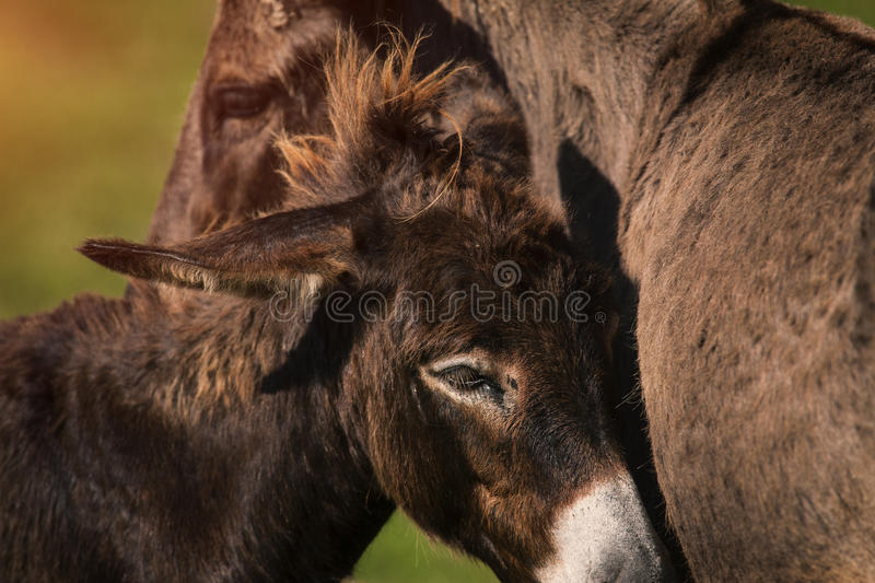 Donkey and the mule stock photography