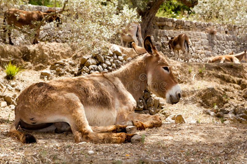 Donkey mule sitting in Mediterranean olive tree royalty free stock images