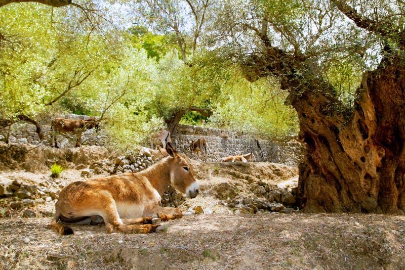Donkey mule sitting in Mediterranean olive tree stock photos