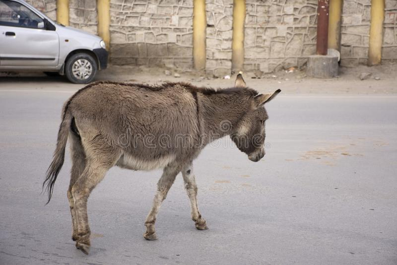 Donkey or Mule walking on the road in Leh Ladakh village at Himalayan valley in Jammu and Kashmir, India stock photo