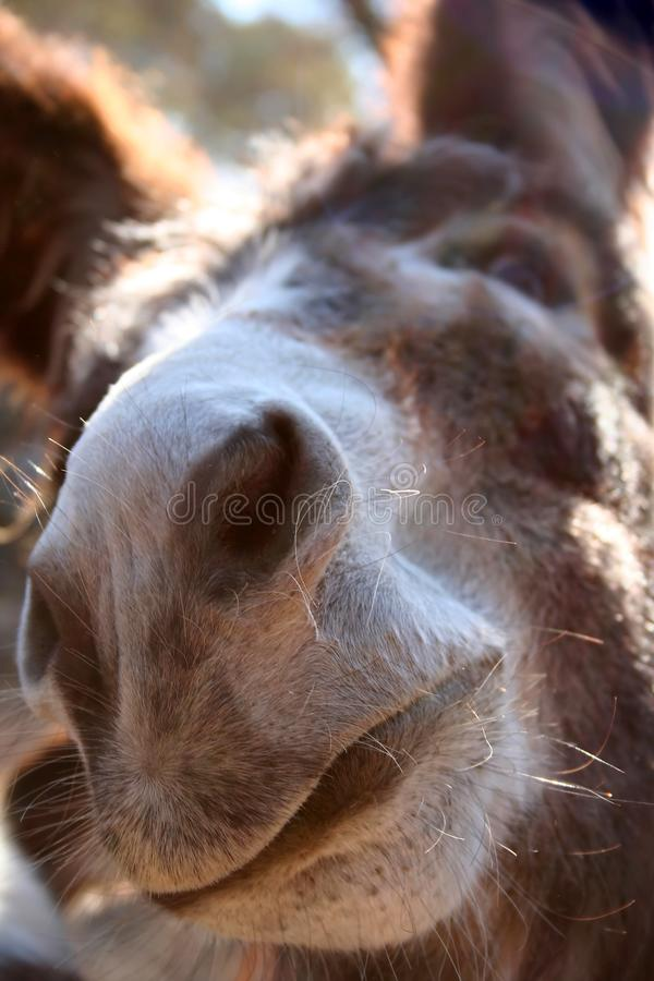 Donkey Nose up and close stock photography