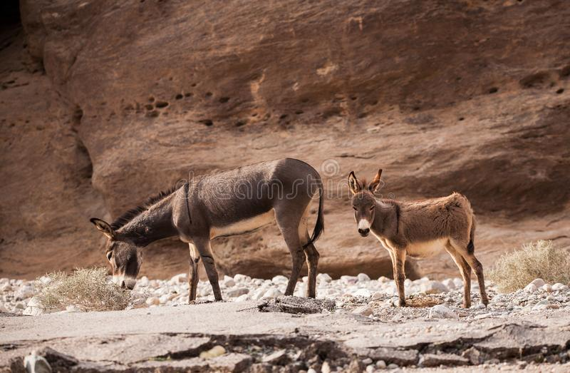Donkey in Oman stock images