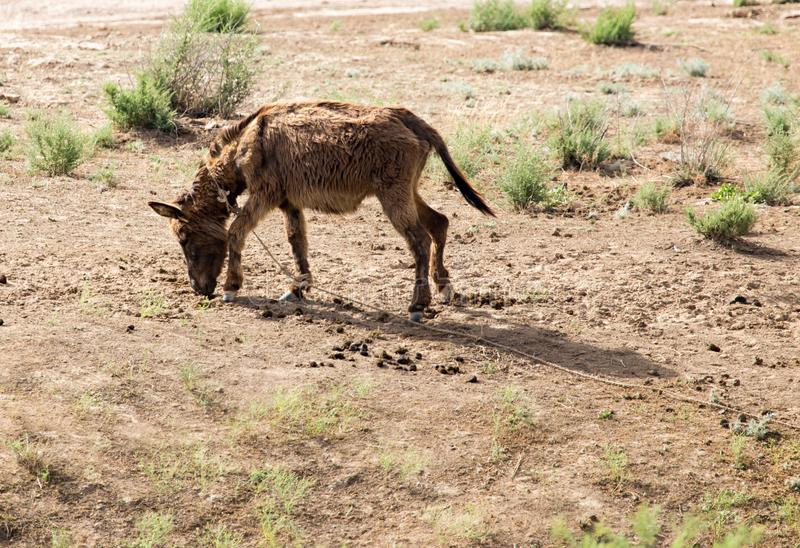 Donkey in a pasture in the desert stock images