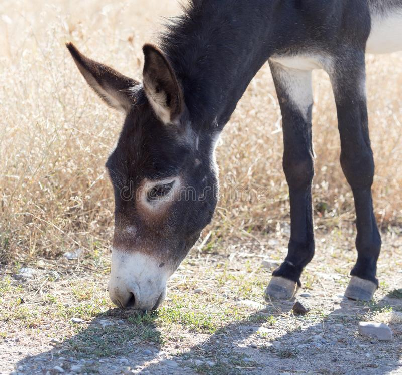 Donkey in a pasture in the fall royalty free stock images
