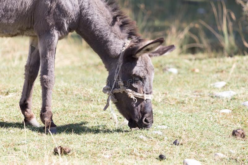 Donkey in a pasture in the fall royalty free stock image