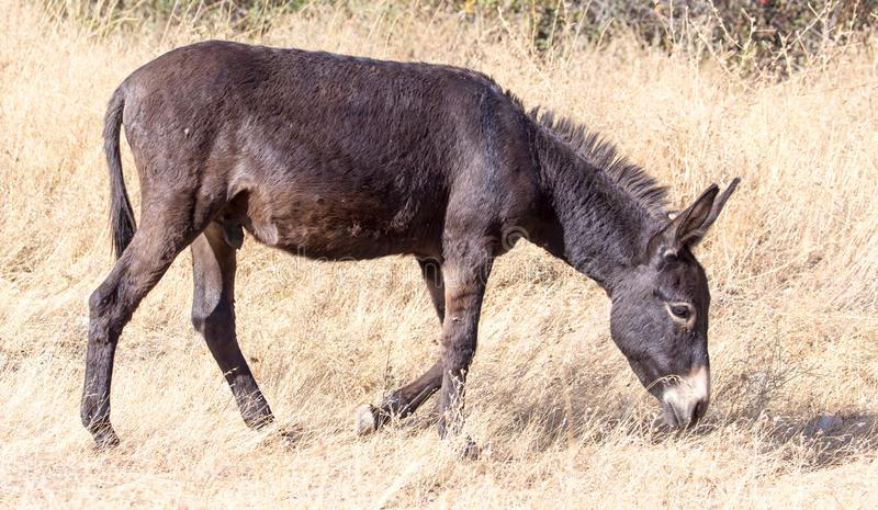 Donkey in a pasture in the fall stock images