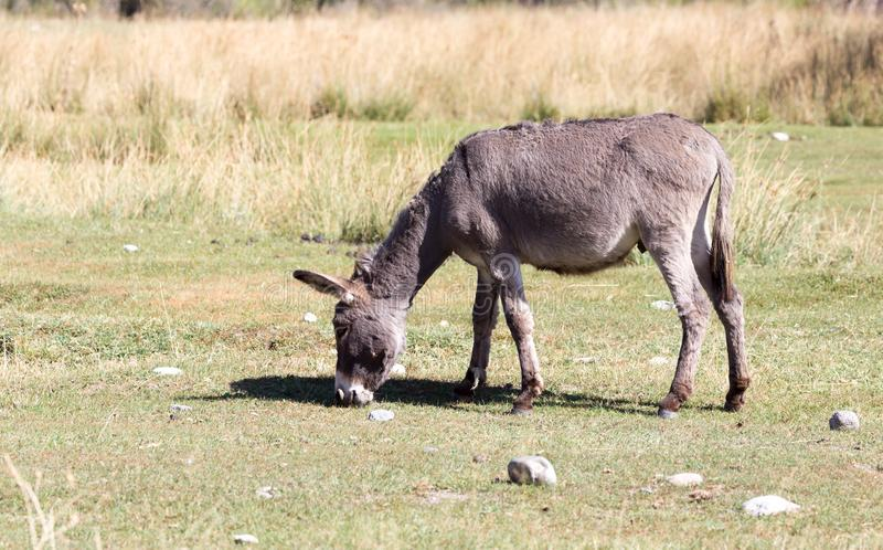 Donkey in a pasture in the fall stock photo