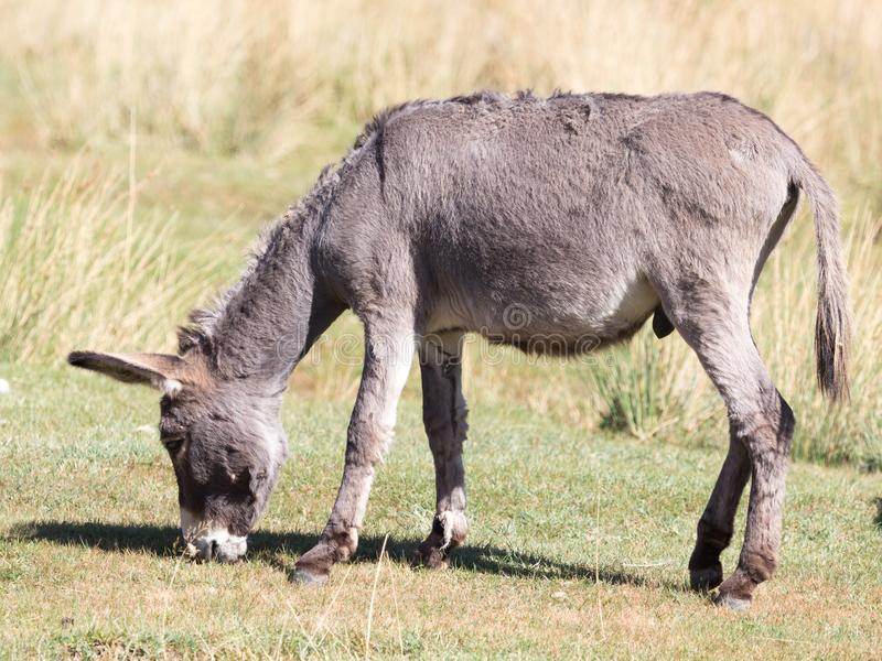 Donkey in a pasture in the fall royalty free stock photography