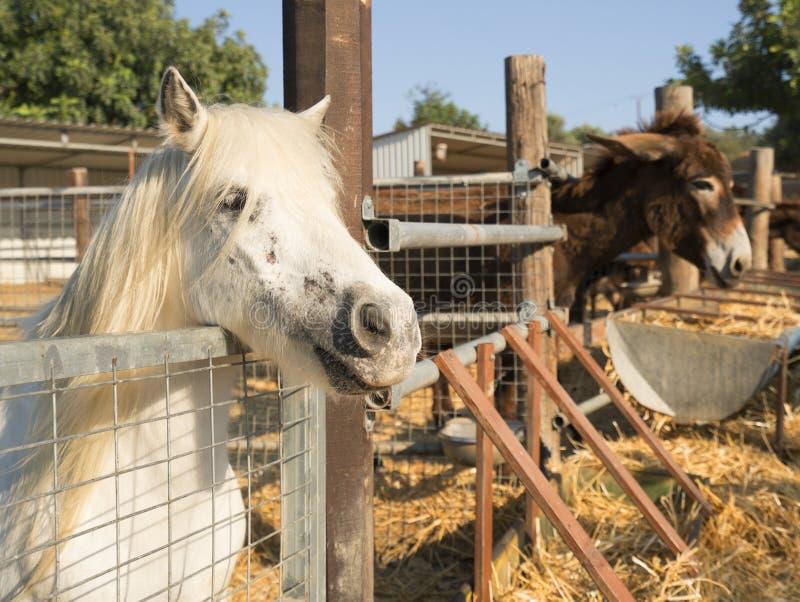 Donkey and pony on a farm on Cyprus. Donkey and pony eating hay on a farm on Cyprus royalty free stock photo