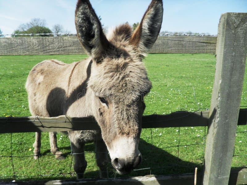 Donkey Portrait royalty free stock images