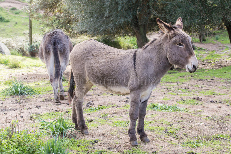 Donkey. A portrait of a donkey in Sardinia stock photography