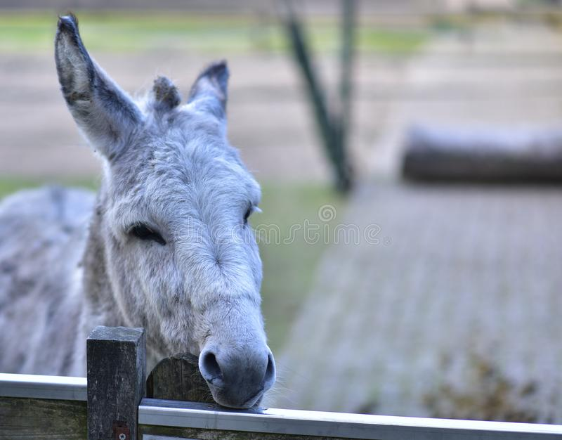 Donkey in public park during autumn season. stock photo