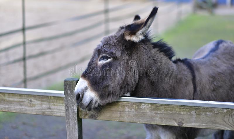 Donkey in public park during autumn season. with black fur royalty free stock photo