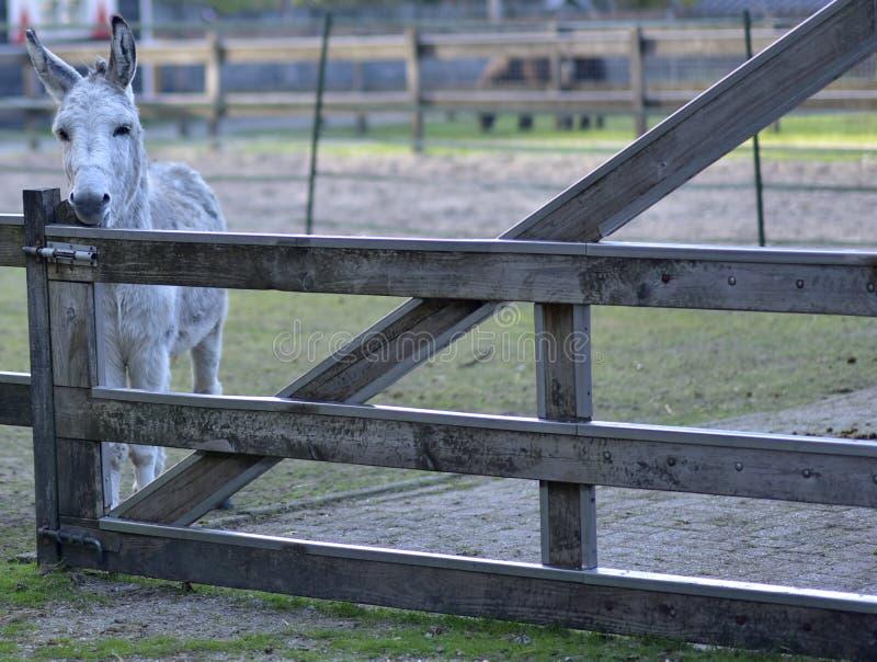 Donkey in public park during autumn season. royalty free stock image