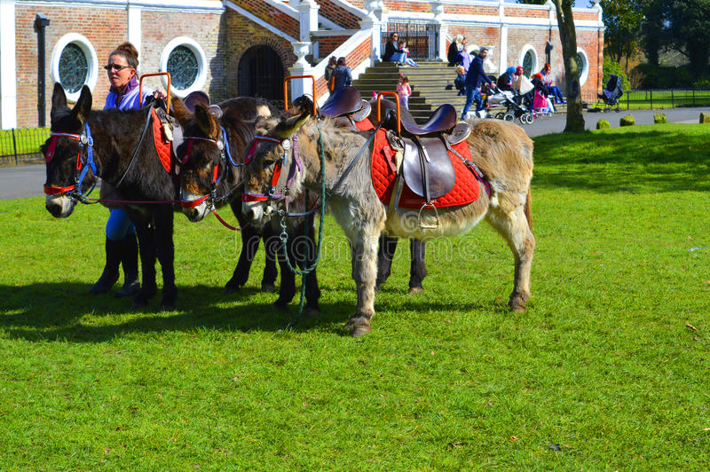 Donkey rides in Croxteth Park in Liverpool stock photo