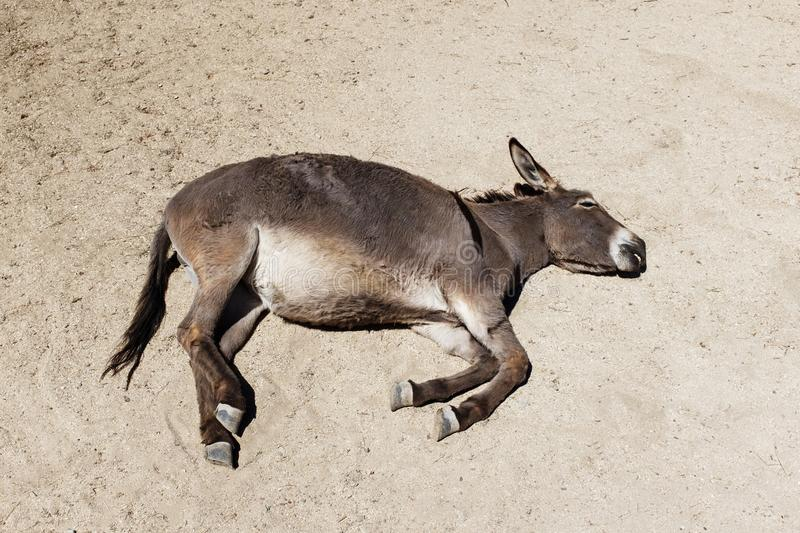 The donkey slept on the sand. Tired, sunny day royalty free stock photography