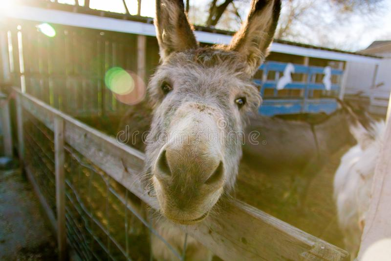 Donkey in stable making a funny face. stock photography