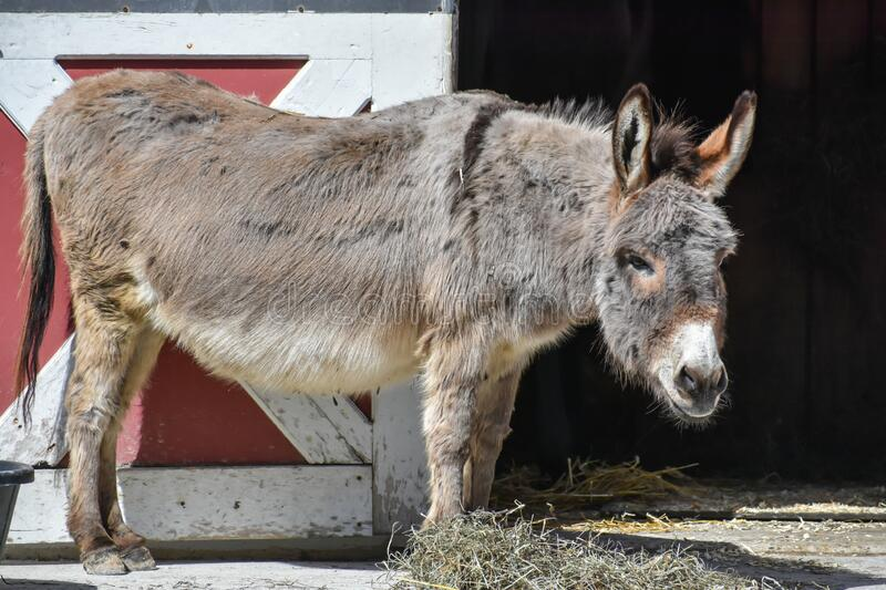 Donkey Standing by Barn Door. A donkey standing by a barn door near a pile of hay at the Milwaukee County Zoo in Milwaukee, WI stock images