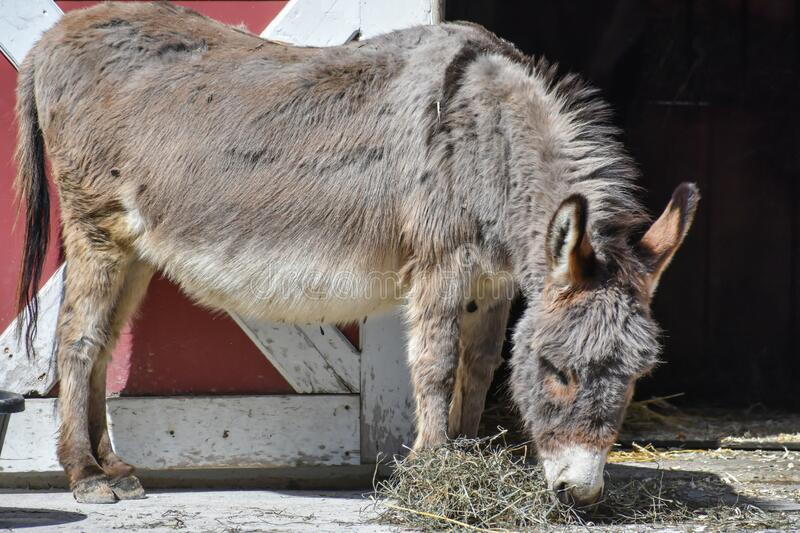 Donkey Standing by Barn Door Eating Hay. A donkey standing by a barn door near a pile of hay at the Milwaukee County Zoo in Milwaukee, WI stock photo