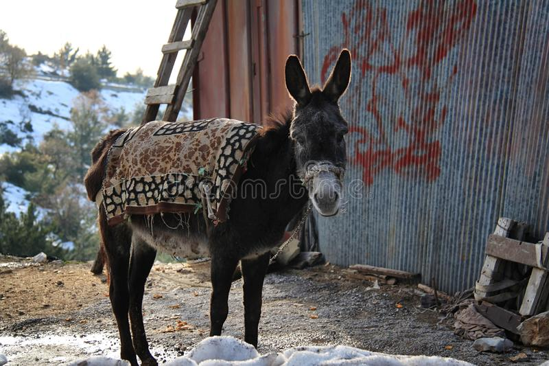 Donkey Standing. A donkey in Lebanon standing in the cold near a royalty free stock image