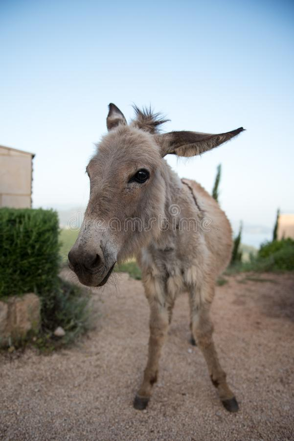 A donkey standing in a farm. A young donkey is standing in a farm. front portrait royalty free stock images